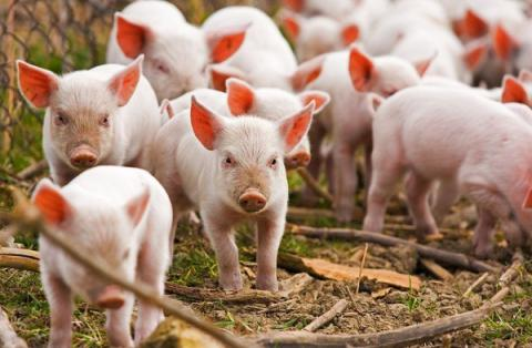 Ukraine still faces threat of swine fever spread
