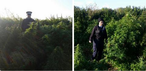 Cannabis 'forest' discovered in south-west London