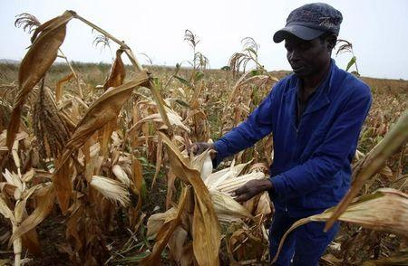 Africa takes fresh look at GMO crops as drought blights continent