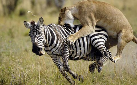 Horses had stripes like zebras until humans broke them in, scientists say