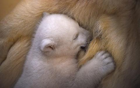 Cute polar bear cub exploring the world for the first time (PHOTO)