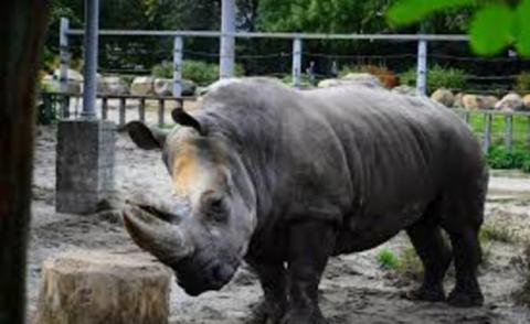 Oldest white rhino of Europe died in Kyiv zoo