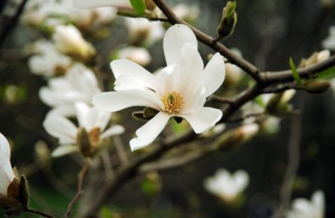 Magnolias blooms in Kyiv's National Botanical Garden (PHOTO)
