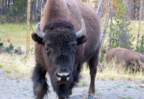 Woman attempted to pet bison in Yellowstone National Park (VIDEO)