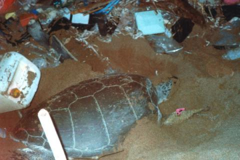 More sea turtles survive with less beach debris