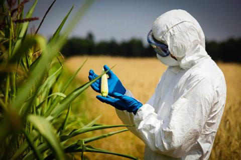Genetically altered food safe for environment but not curing hunger