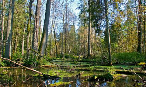 Poland starts logging primeval Bialowieza forest despite protests