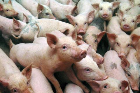 New cases of African Swine Fever revealed in Sumy region