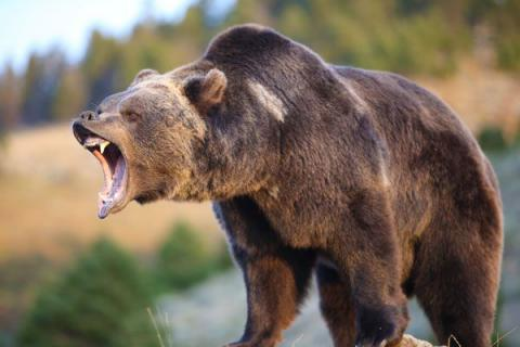 4 people killed in feasible bear attacks in northern Japan