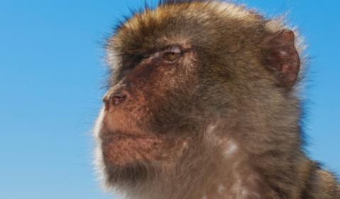 Old monkeys become grumpy like old people - Research