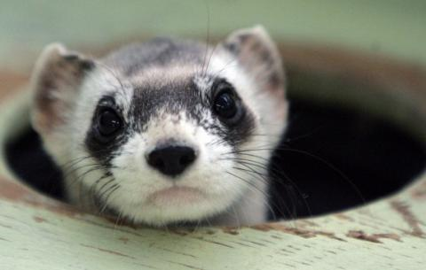 U.S. ferrets will be saved by drons