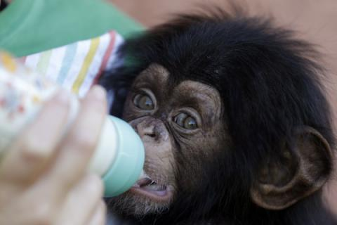 Chimpanzee-carried HIV can infect human cells - Study