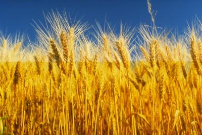 The main wheat consumer of Ukrainie is Indonesia