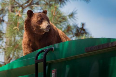 New Mexico bear rides on top of garbage truck 5 miles (PHOTO)
