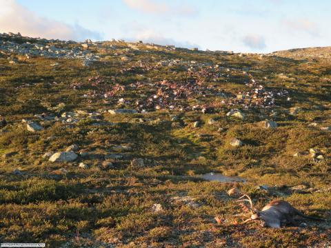 300 wild reindeer killed by one lighting in central Norway