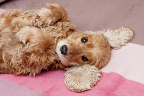 Australian company grows flu vaccines in kidney cells taken from dogs