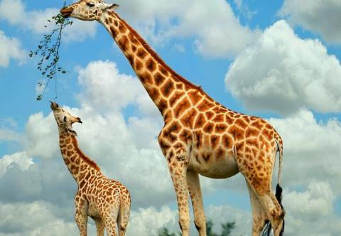 Devastating decline for the giraffe