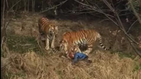 Zoo tiger kills man in eastern China resort (VIDEO OF ATTACK)