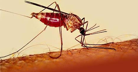 Decoded: Why mosquitoes are attracted to people with malaria