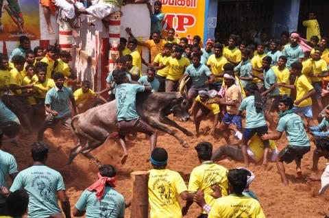 Initiated by US animal rights group ban on bull-taming sport provokes Coke, Pepsi boycott in India