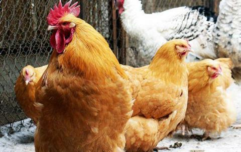 Ukraine to resumes poultry exports to UAE